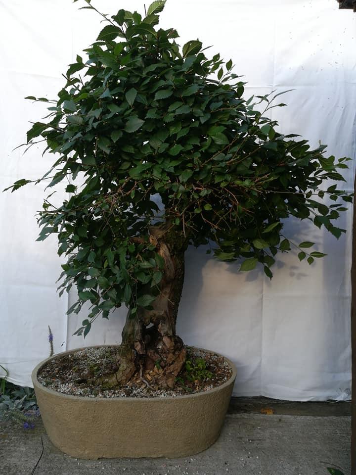 Defoliacia bonsajov v podaní Martinky Vyhlídalovej.