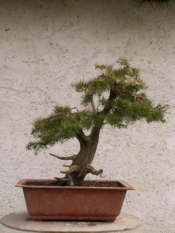 Juniperus communis, Borievka obyčajná. Jamadori presadené z prírody v roku 2004